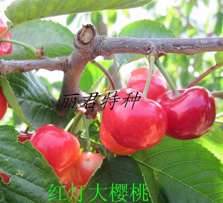 红灯大樱桃|四川红灯大樱桃|红灯大樱桃苗木|红灯大樱桃种植