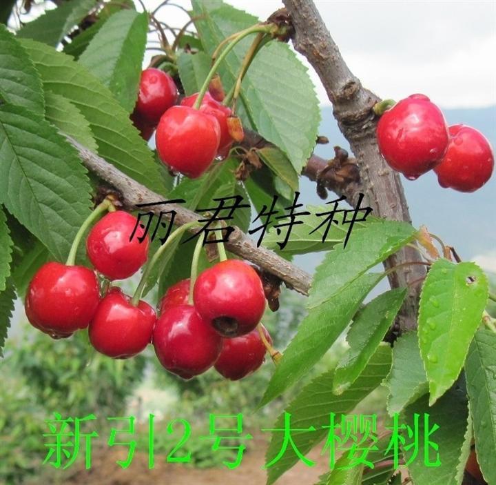 新引2号大樱桃|大樱桃种植|大樱桃苗木|大樱桃价格