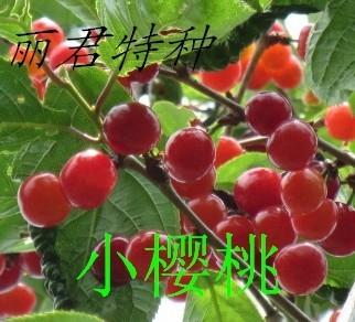 小樱桃苗木-供应优质大樱桃苗木|小樱桃苗木|出售小樱桃苗|小樱桃