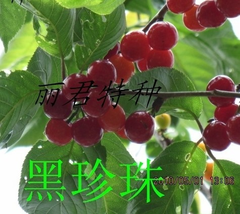 黑樱桃(又名乌皮樱桃,黑珍珠)|四川黑樱桃(又名乌皮樱桃,黑珍珠)