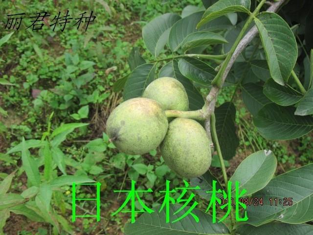 新引1号(日本核桃) 出售核桃树新品种 日本引进核桃苗-日本清香核桃