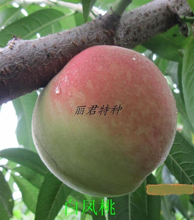 白凤桃|桃树种植|桃树价格|桃树批发|桃树苗木|桃树苗
