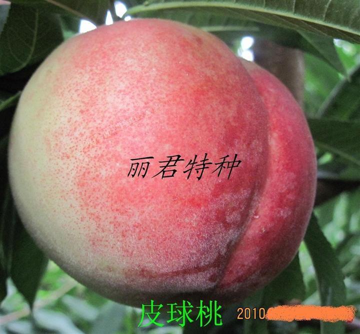 皮球桃|皮球桃的高产栽培|皮球桃种植|皮球桃苗木