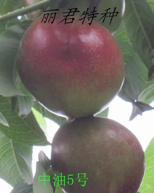 中油5号桃|供应中油5号桃苗|中油5号桃苗|出售中油5号桃苗