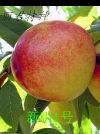 新引1号|桃树种植|新引1号|桃树批发