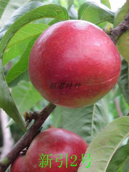 新引2号|桃树|油桃|新引2号|四川桃树|四川油桃