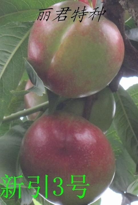 新引3号|四川油桃|四川桃树|桃树苗|油桃苗