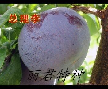 总理李|李子种植|总理李价格|李子苗木