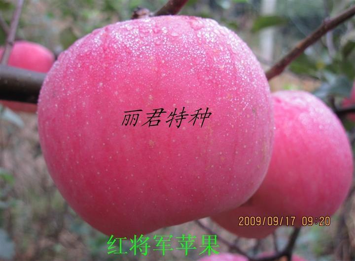 红将军苹果|四川红将军苹果|红将军苹果树苗,红将军,苹果树苗,树苗,苗