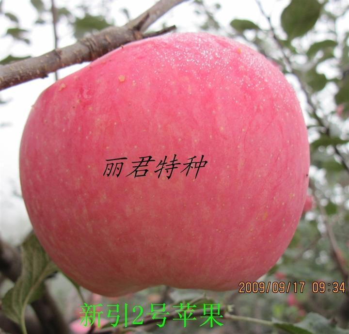 新引2号苹果|四川新引2号苹果|新引2号苹果树苗,红将军,苹果树苗,树苗,苗