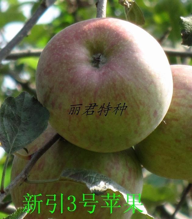 新引3号苹果|四川新引3号苹果|新引3号苹果树苗,红将军,苹果树苗,树苗,苗