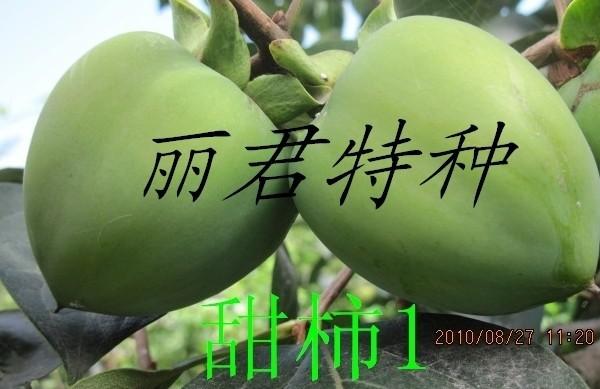 甜柿|甜柿种植技术|四川甜柿|甜柿批发