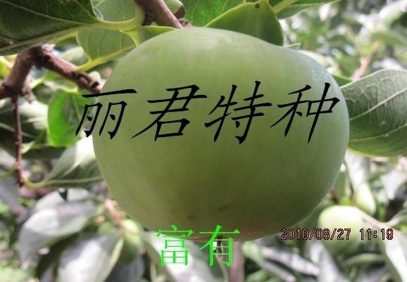 富有柿|柿子 柿子种苗 柿子苗 四川富有柿