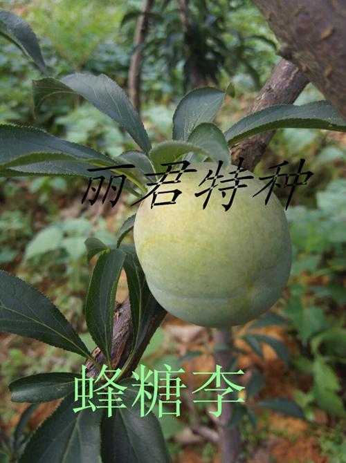 蜂糖李苗/四川蜂糖李苗/四川蜂糖李苗基地