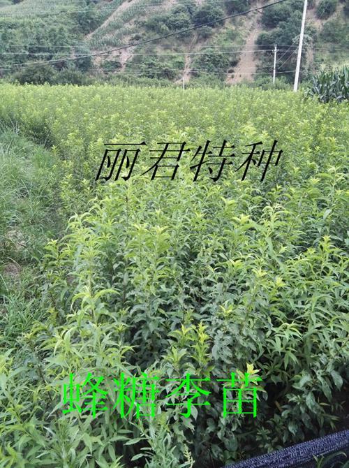 优质蜂糖李苗批发、四川蜂糖李苗种植基地