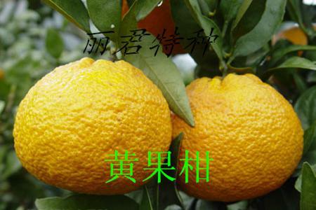 汉源黄果柑/新鲜绿色无公害黄果柑