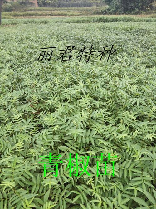 四川青椒苗|四川青椒种苗|供应青椒苗