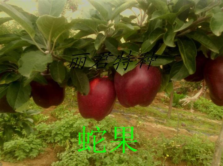四川蛇果|四川汉源蛇果基地|供应蛇果苗