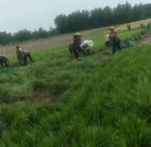 麦冬草基地