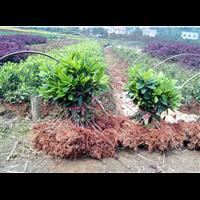 现有大量夏娟苗出售-湖南舒氏苗圃基地
