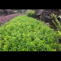 贵州杜鹃苗圃种植-夏娟苗圃直销批发价格