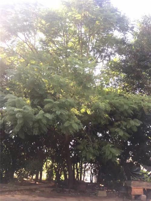 昆明三角梅|三角梅种类