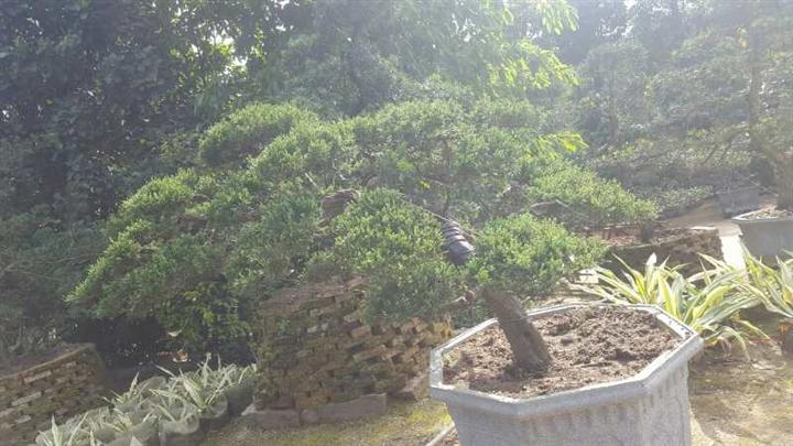 昆明苗木|昆明三角梅