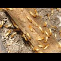 【汕头灭白蚁,汕头除白蚁,汕头杀白蚁】