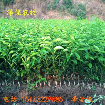 四川柑橘苗价格-四川果树苗