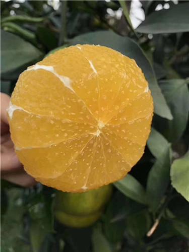 四川柑橘苗#四川柑橘苗供应