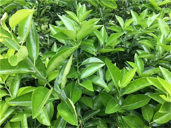 简阳柑橘苗出售-四川柑橘苗供应