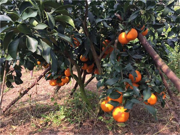 四川最大柑橘苗-四川柑橘苗价格