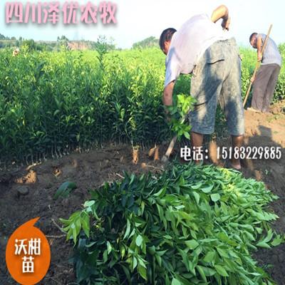 四川柑橘苗供应-四川柑橘苗批发