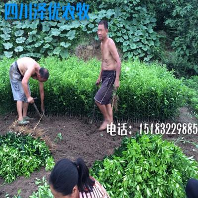 四川香橙苗供应-四川香橙苗价格