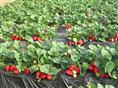 江苏草莓专业供应商