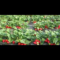 江苏草莓哪家规模大