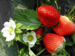 江苏草莓苗