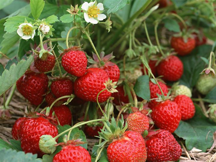 江苏草莓苗供应
