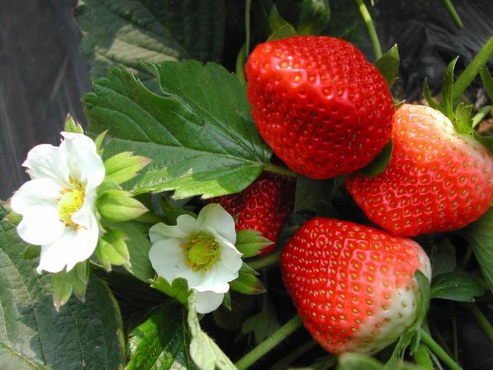 江苏邳州草莓