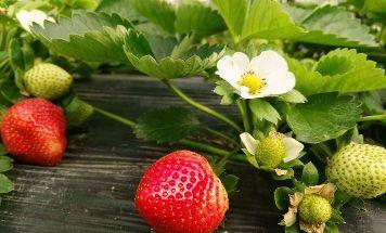 江苏草莓行情