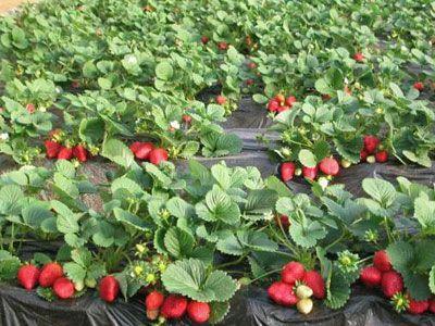 江苏草莓批发