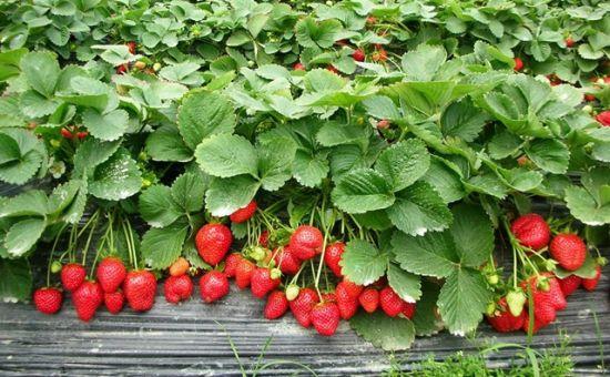 江苏草莓基地