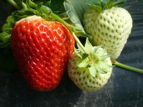 江苏草莓价格