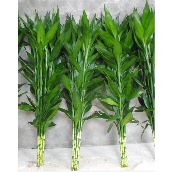 海南富贵竹