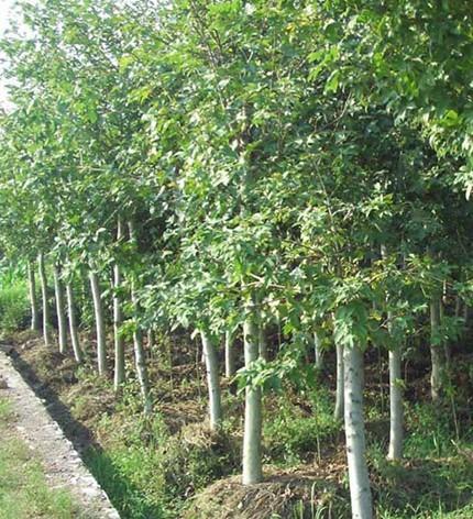 江西马褂木供应、江西马褂木价格