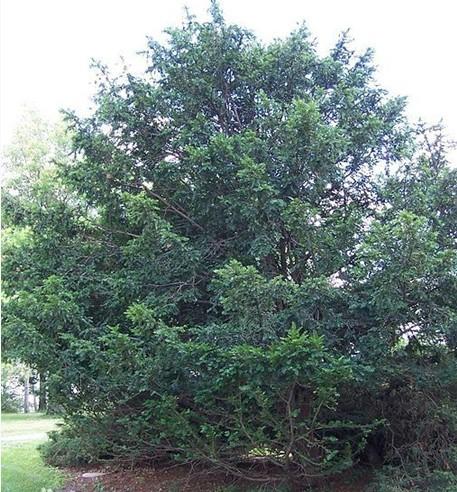 红豆杉供应//九江红豆杉-红豆杉价格