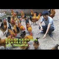 浙江发酵床养殖土鸡技术培训哪家强