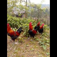 河南发酵床养殖土鸡技术培训哪家强