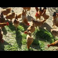 湖北发酵床养殖土鸡技术培训哪家比较好