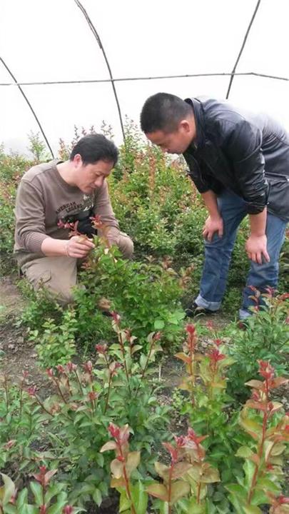 植物造型教学-广西造型树-优质造型树
